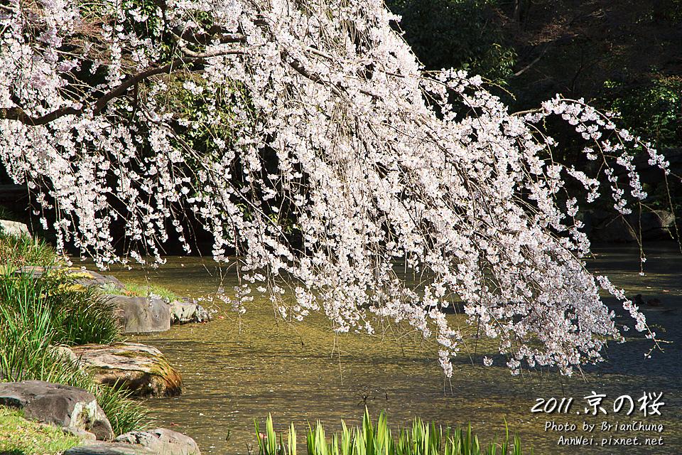 京都御苑 支垂櫻