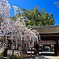 平野神社 魁櫻 滿開