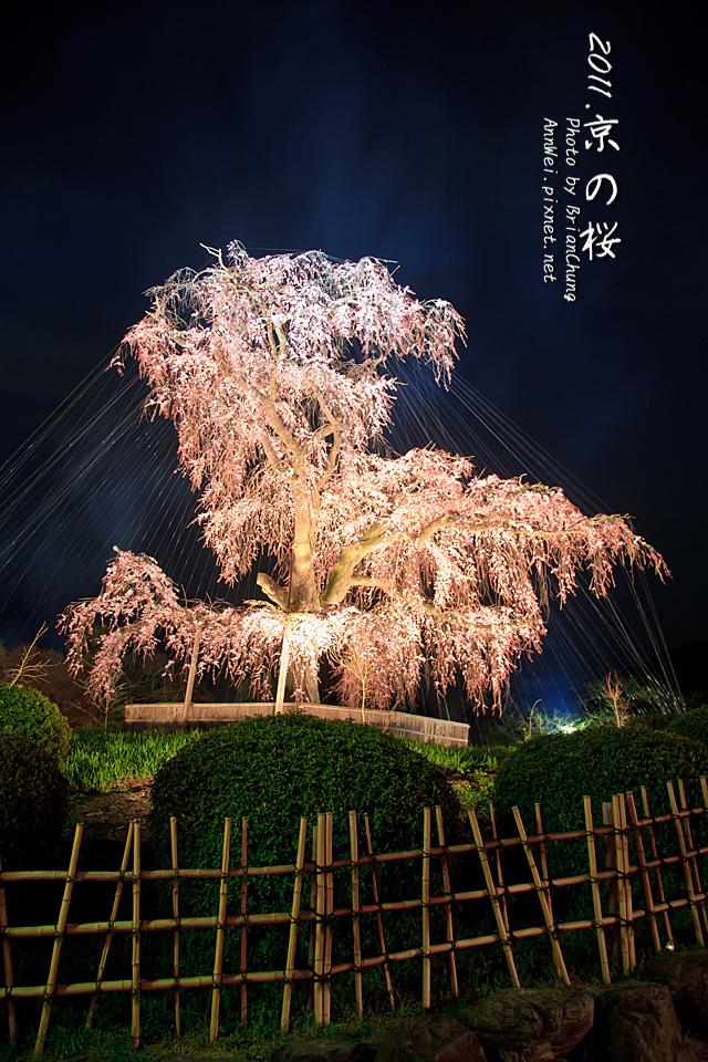 円山公園 支垂櫻