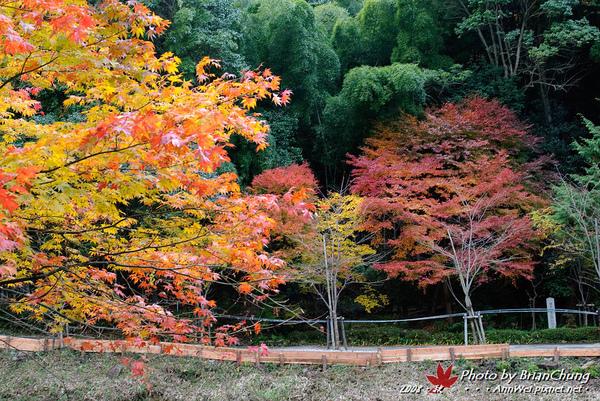 小倉池旁楓葉