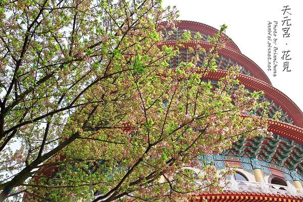 葉櫻已經成形