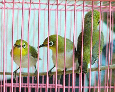 綠繡眼-2.jpg