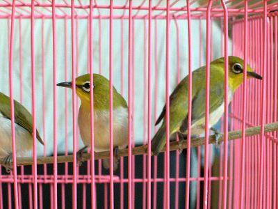 綠繡眼-5.jpg