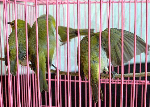 綠繡眼-6.jpg