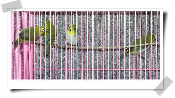 綠繡眼-3.jpg