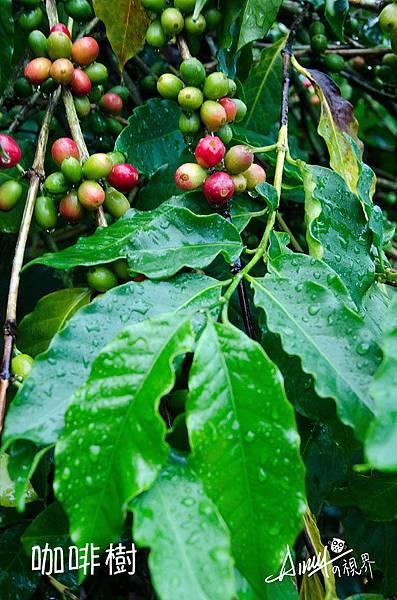 咖啡樹-(1).jpg