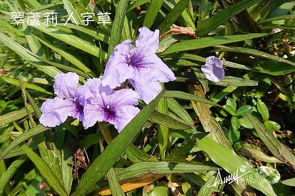 翠蘆莉-人字草-藍花草-紫花蘆莉.jpg