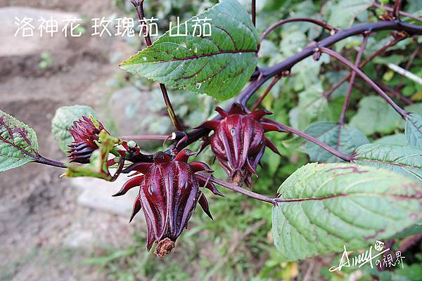 玫瑰茄、洛神花、洛神葵、洛神果、山茄、洛濟葵-(2).jpg