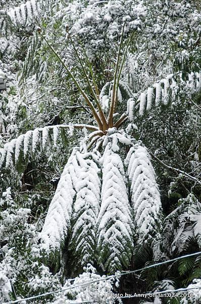 台灣下雪 坪林下雪16.jpg