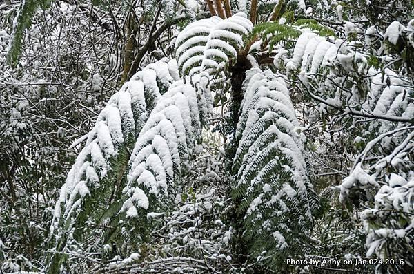 台灣下雪 坪林下雪17.jpg