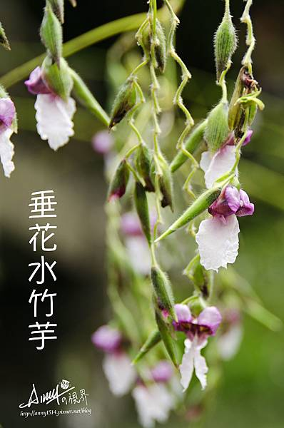 垂花水竹芋1-1.jpg