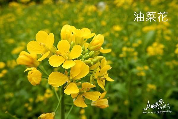 油菜花2-2.jpg