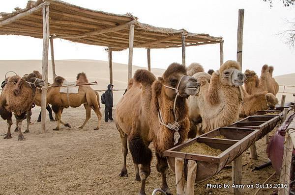 塔克拉瑪干沙漠騎駱駝6.jpg