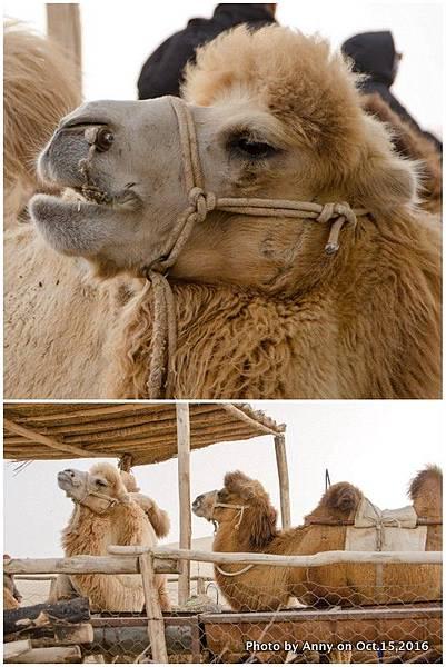 塔克拉瑪干沙漠騎駱駝2.jpg