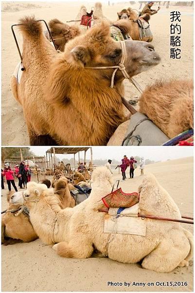 塔克拉瑪干沙漠騎駱駝3.jpg