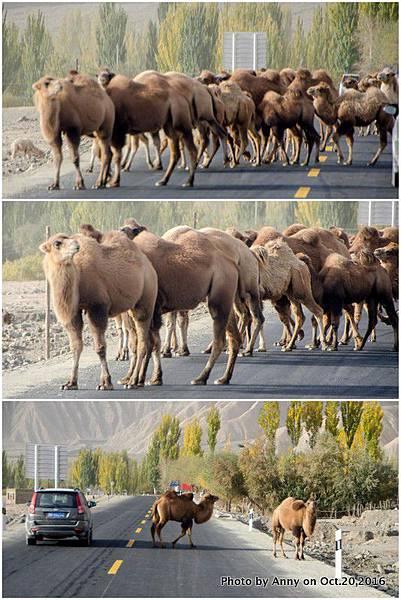 中巴公路 駱駝