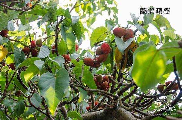 蘭嶼蘋婆1.jpg