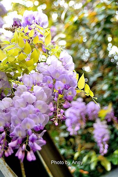 紫藤12.jpg