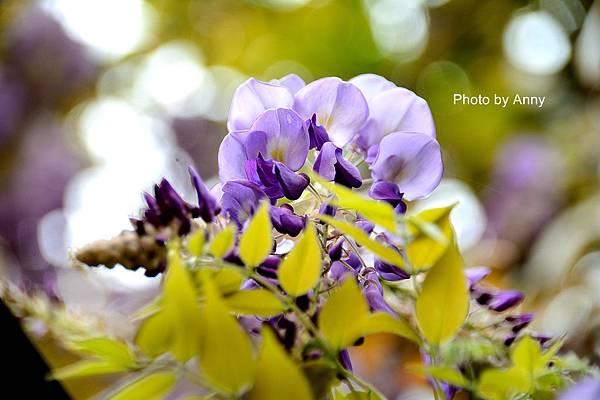 紫藤15.jpg