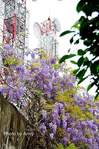 紫藤18.jpg