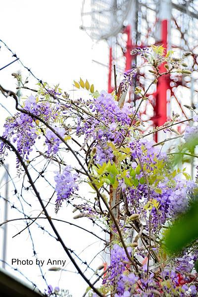 紫藤24.jpg
