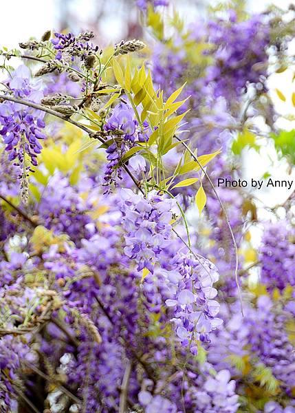 紫藤25.jpg