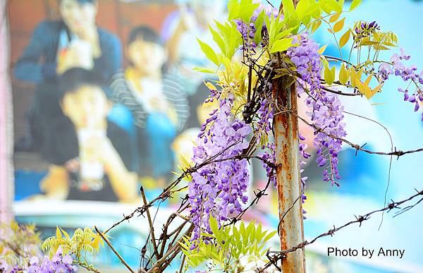 紫藤a1.jpg