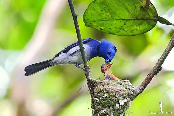 藍鶲育雛1