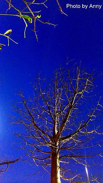夜櫻1.jpg