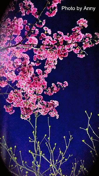 夜櫻9.jpg