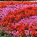 花毯節32-1.jpg