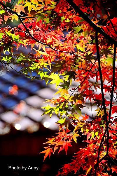 福壽山楓9.jpg