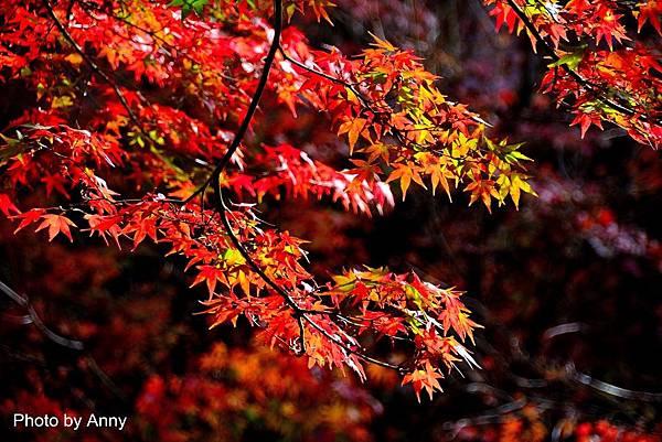 福壽山楓11.jpg