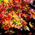 福壽山楓14.jpg