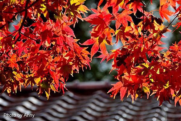 福壽山楓56.jpg