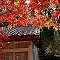 福壽山楓59.jpg
