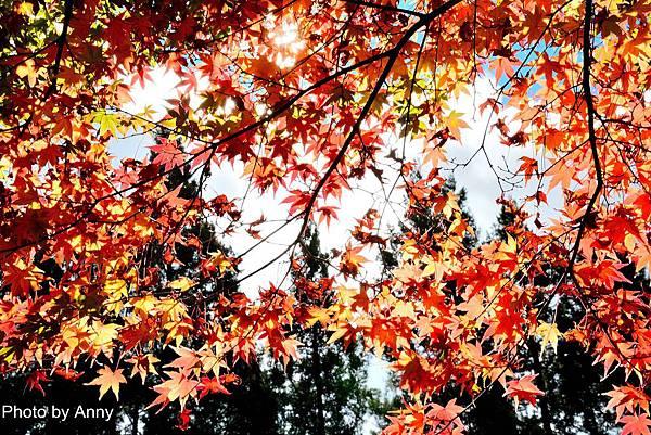 福壽山楓61.jpg