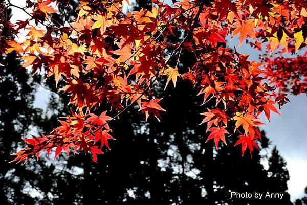 福壽山楓62.jpg