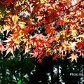 福壽山楓63.jpg
