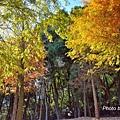 莊園落羽松16.jpg