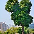 米奇樹5.jpg