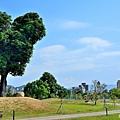 米奇樹3.jpg
