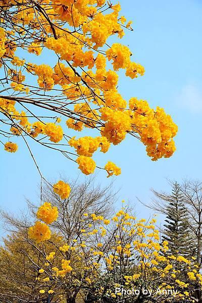 黃風鈴木24.jpg