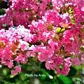 亞大紫薇22.jpg