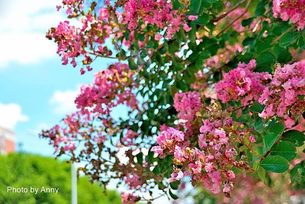 亞大紫薇44.jpg