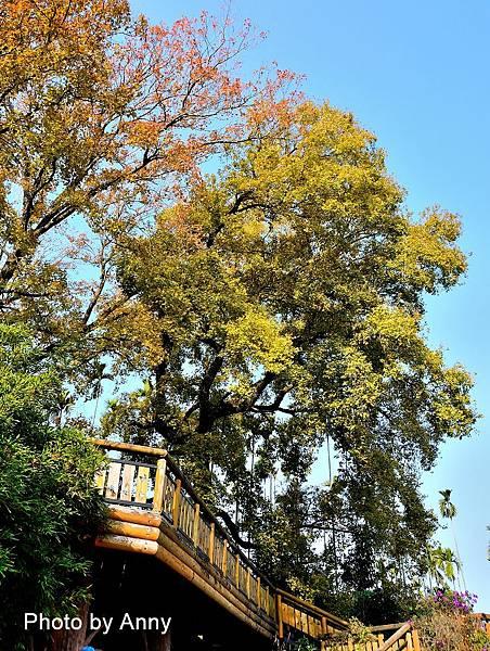 樹屋楓樹2.jpg