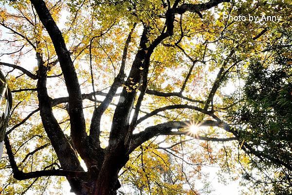 樹屋楓樹16.jpg