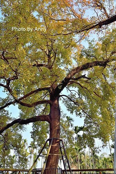 樹屋楓樹12.jpg