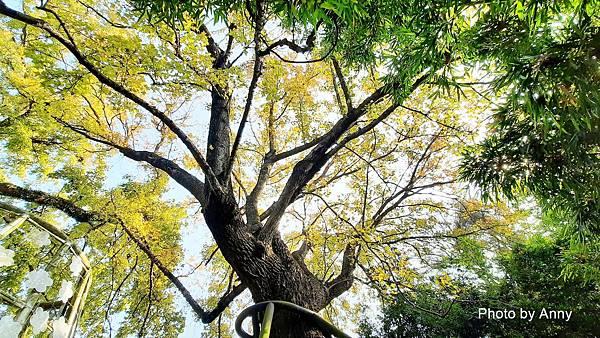樹屋楓樹32.jpg