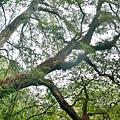 巨木群54.jpg